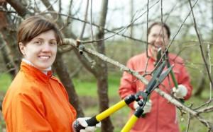 На фото - обрезка веток садовых деревьев, superdom.ua