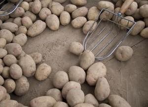 Фото про хранение картофеля, masterotvetov.com