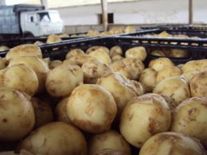 Фото про требования к хранению картофеля,
