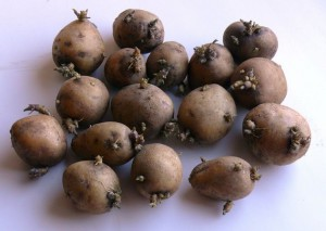 Фото про болезни картофеля при хранении, alen-agro.ru