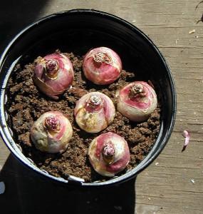 На фото - гиацинты луковичные: посадка, bellewood-gardens.com