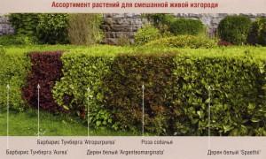 На фото - смешанная живая изгородь, drevo-spas.ru