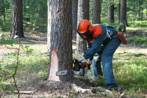 На фото - устойчивое положение при обрезке дерева, sawwood.ru