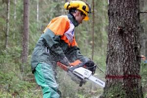 Фото валки деревьев бензопилой, news.novgorod.ru