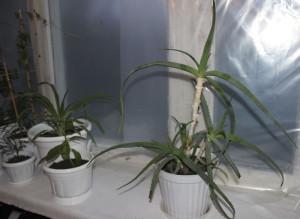 На фото - выращивание алоэ дома, pets-and-plants.ru
