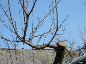 На фото - обрезка сливы весной, winefromtears.ru