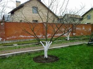 Фото ухода за сливой весной, habinfo.ru