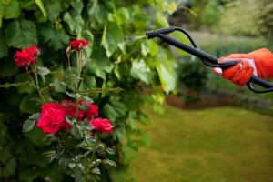 Фото обработки кустов роз бордоской жидкостью, 7dach.ru
