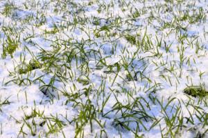 Фото газона зимой, online.semenasad.ru