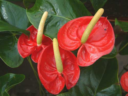 Цветок антуриум: уход для роста и развития растения + видео