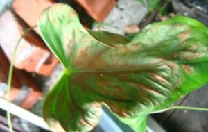 На фото - заболевание листьев антуриума, greeninfo.ru