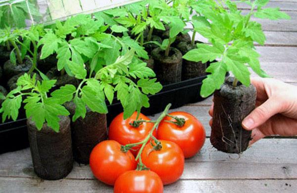 Выращивание томатов в торфяных таблетках