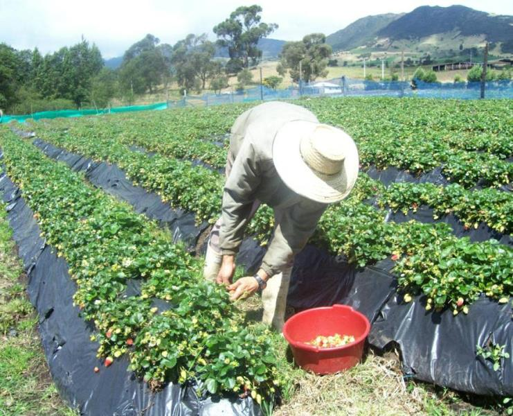 Виктория технология выращивания 8