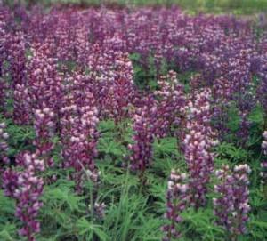 Выращивание клубники на приусадебном участке – подготовка