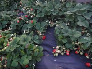 Выращивание клубники на приусадебном участке – подготовка фото