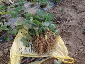 Выращивание клубники в открытом грунте – выбираем посадочный материал!