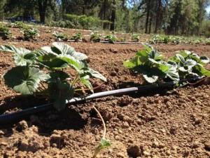 Выращивание клубники в открытом грунте – выбираем посадочный материал! фото