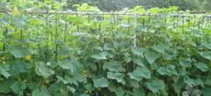 На фото - выращивание огурцов на огороде, dacha-mania.ru