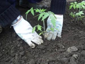 Фото высадки рассады томатов, tomatita.ru