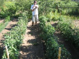 На фото - кусты помидоров, ostrovok.livejournal.com