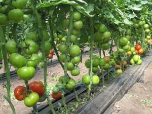 На фото - выращивание томатов на открытом грунте, tomat-pomidor.com
