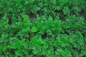 На фото - грядка с петрушкой, ogorodsadovod.com