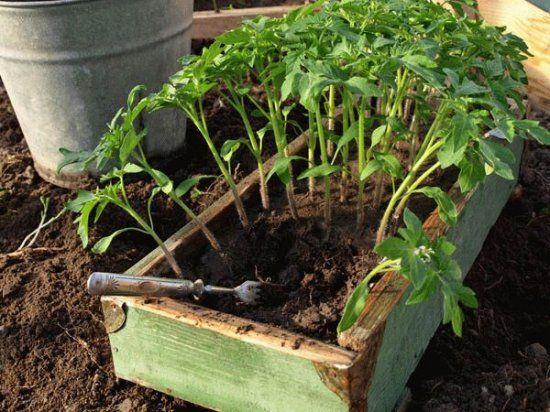 Ящик с рассадой томатов