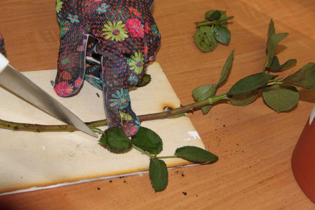 Подрезка розы для создания черенка