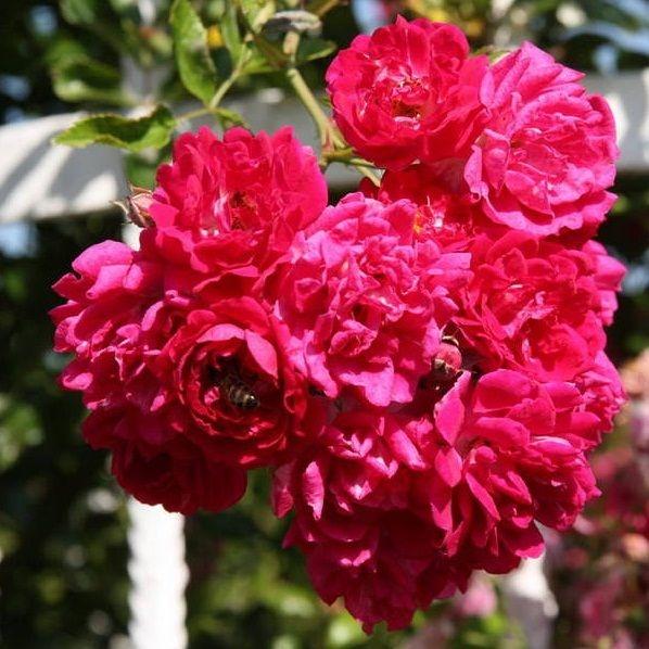 Розы Эксцельза