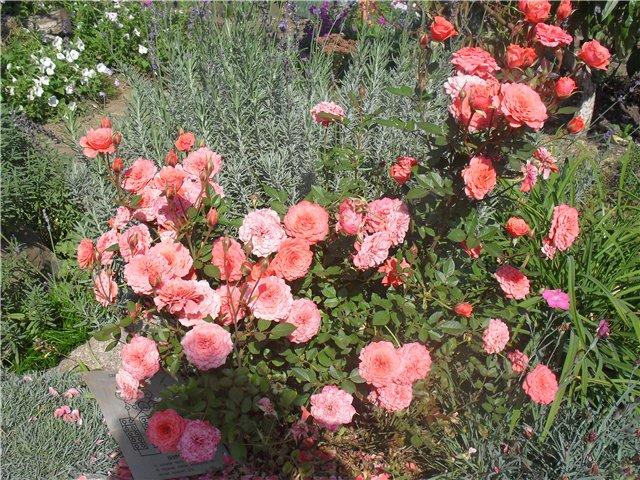 Розы Розалинда