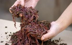 Фото биогумуса из красных червей, avito.ru