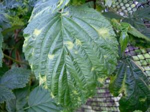 Фото мозаики на листьях малины, 7dach.ru