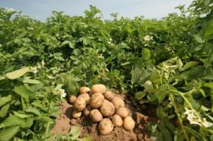 Фото сбора картофеля вручную, 1bl.in