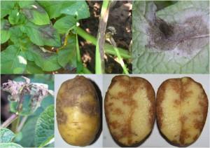 Фото фитофтороза картофеля, belbulba.na.by