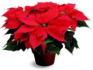 Взошла Рождественская звезда – пора с цветком встречать у входа гостей!