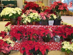 Взошла Рождественская звезда – пора с цветком встречать у входа гостей! фото