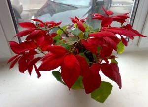Пересадка цветка Рождественская звезда, или как правильно организовать уход за Пуансеттией?