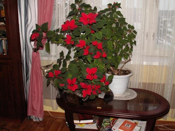 Как ухаживать цветок рождественский домашних условиях