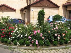 Фото выращивания роз, vk.com