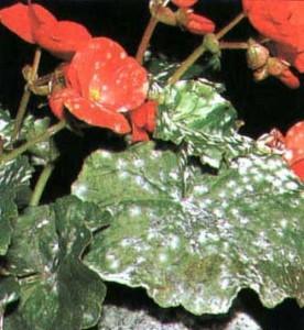 Фото болезни цветов, каскад-цветов.рф