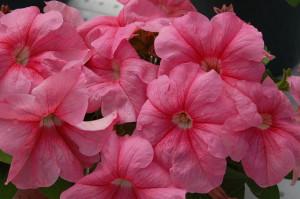На фото - крупноцветковая петуния Грандифлора, agbina.ru