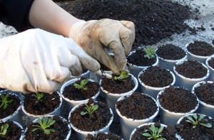 Фото посадки семян петунии, pelargonia.at.ua