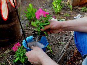 Фото пересаживания цветков петуний, flowerbank.ru
