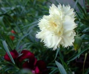 На фото - белая гвоздика Жанна Дионис, 7dach.ru