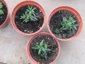 Фото проращивания семян гвоздики Шабо, zvetovodstvo.com