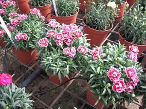 На фото - выращивание гвоздики Шабо в теплице, commons.wikimedia.org