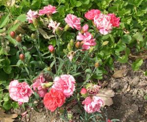 Фото выращивания гвоздики Шабо на открытом грунте, podmoskovje.com