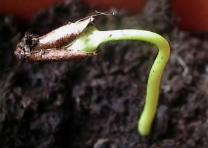 На фото - проращивание косточки хурмы, liveinternet.ru