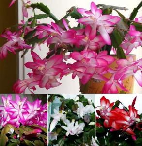 Цветы Рождественника - уход и особенности