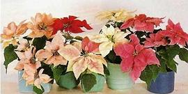 Рождественская звезда - цветок, уход за которым приносит счастье в дом!